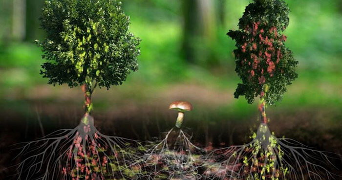 Деревья общаются с помощью химических и электрических сигналов через сеть мицелия