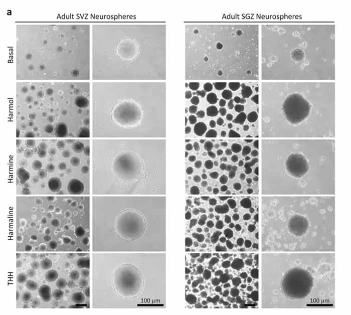 Микрофотографии, показывающие количество и размер нейросфер (нервных клеток-предшественников) после 7 дней в культуре в присутствии алкалоидов аяваски (Banisteriopsis caapi). Верхняя картинка (Basal) - контрольная группа [4]