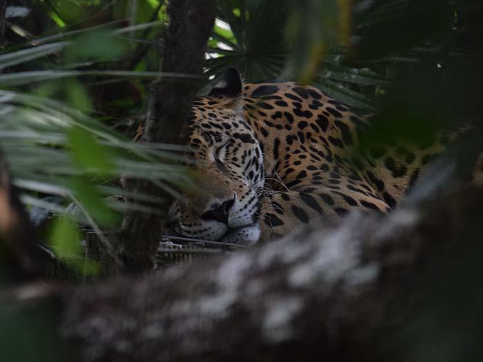 спящий ягуар
