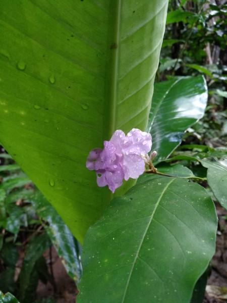 цветок чирик сананго
