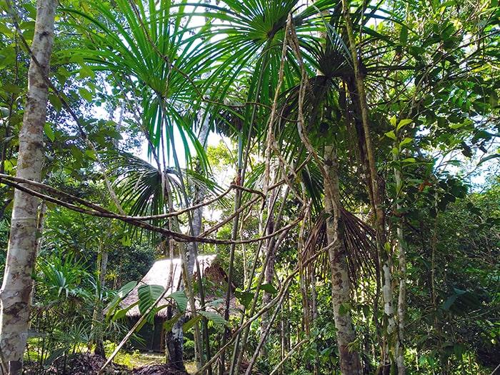 Аяуаска перед домом