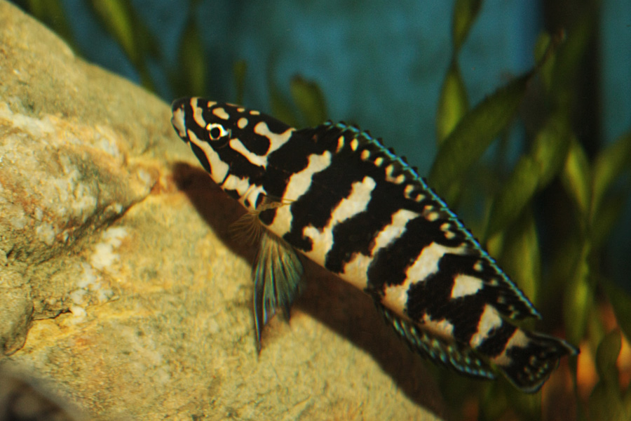 03_julidochromis sp