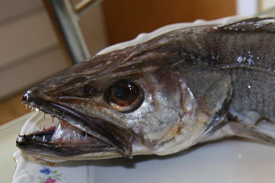 резинкой всегда фотографии рыбы хек билет офицера
