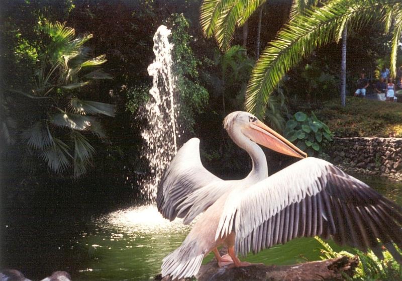 Pelikan-v-Loro-parke