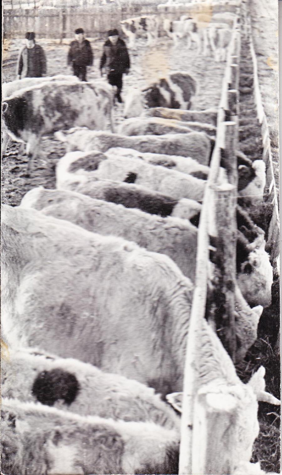 На животноводческой стоянке, Цокто-Хангил, Жапов Б-Д..jpg