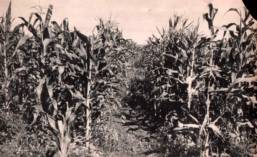 2. Кукурузное поле. Гунэй. 1960 г..jpg