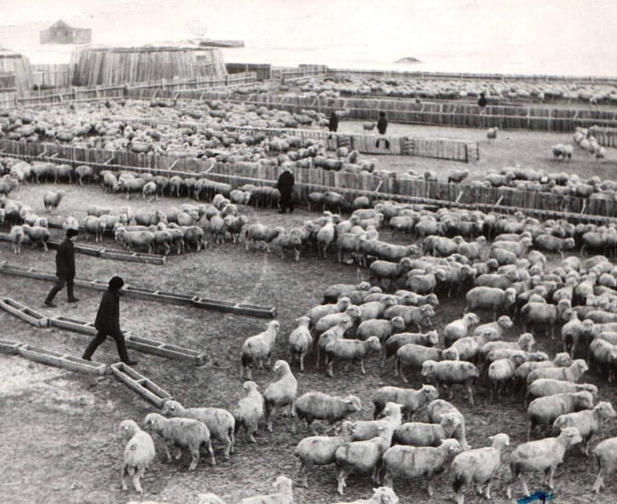 5. И были тысячные отары овец....jpg