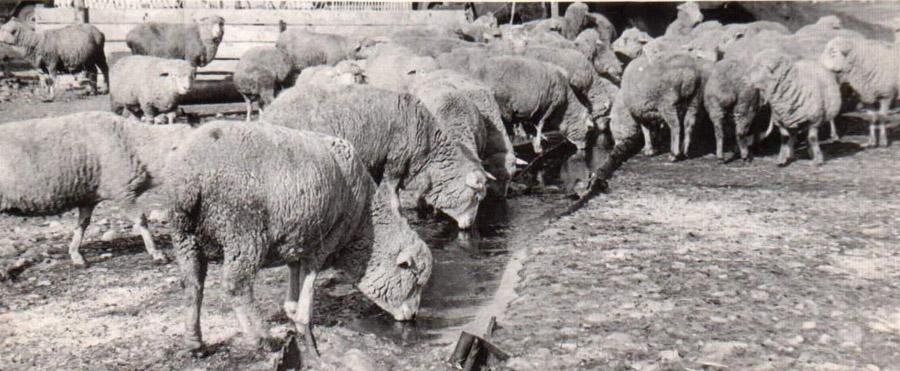 17. За такими овцами ухаживали, пасли, откармливали....jpg