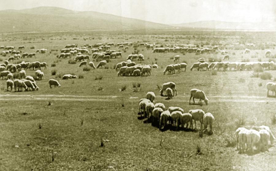 Овцы на пастбище.jpg