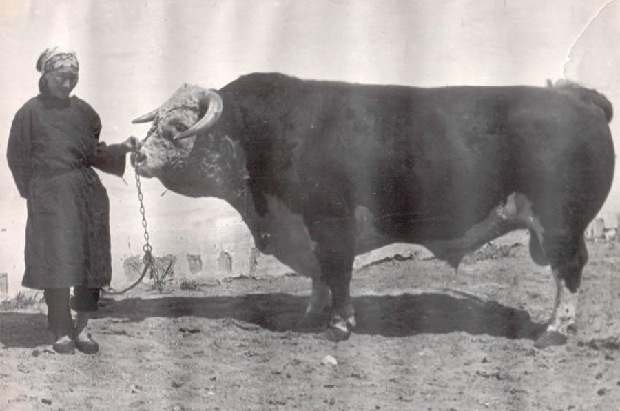 14. Такие были быки. Живой вес 1140 кг. Агинское племобъединение.jpg