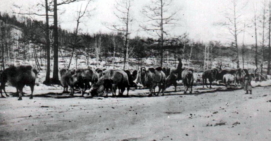 4. Верблюды на отдыхе во время перевозки грузов.jpg