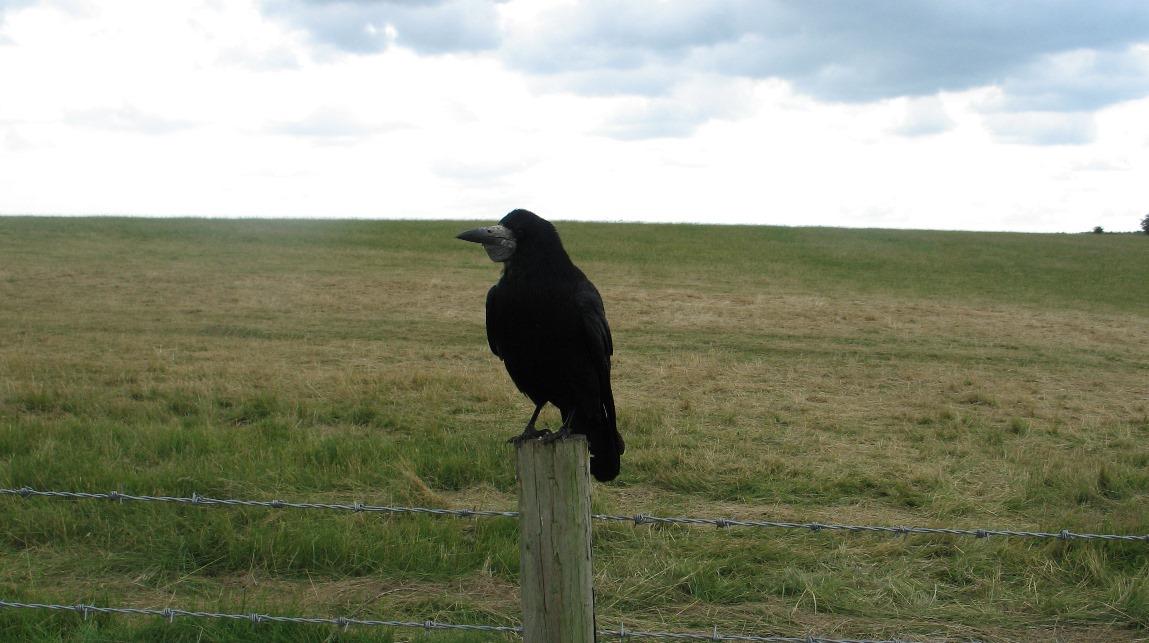 Raven - Stonehenge 2