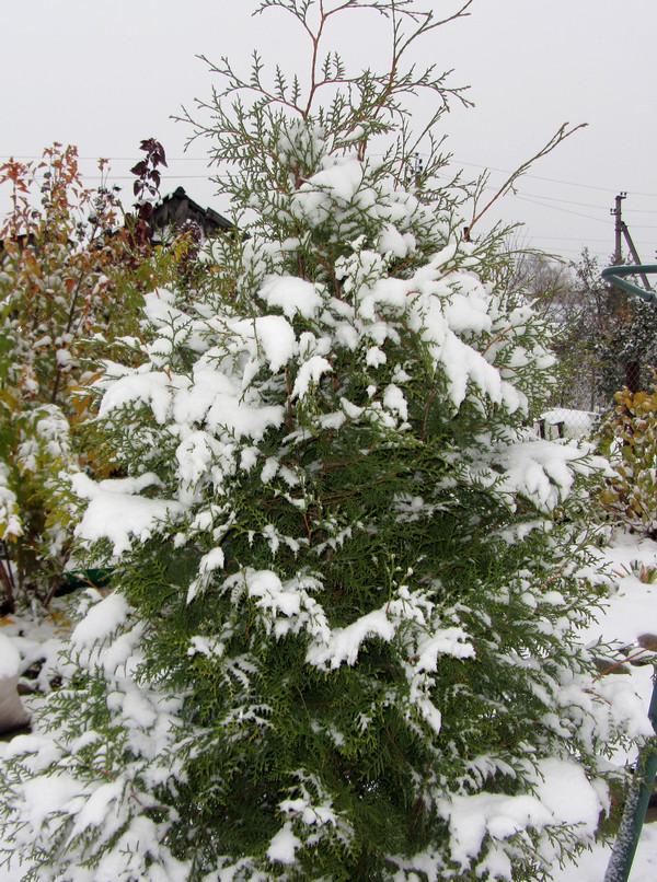снег туя