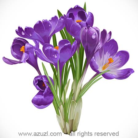Bouquet of spring purple crocuses