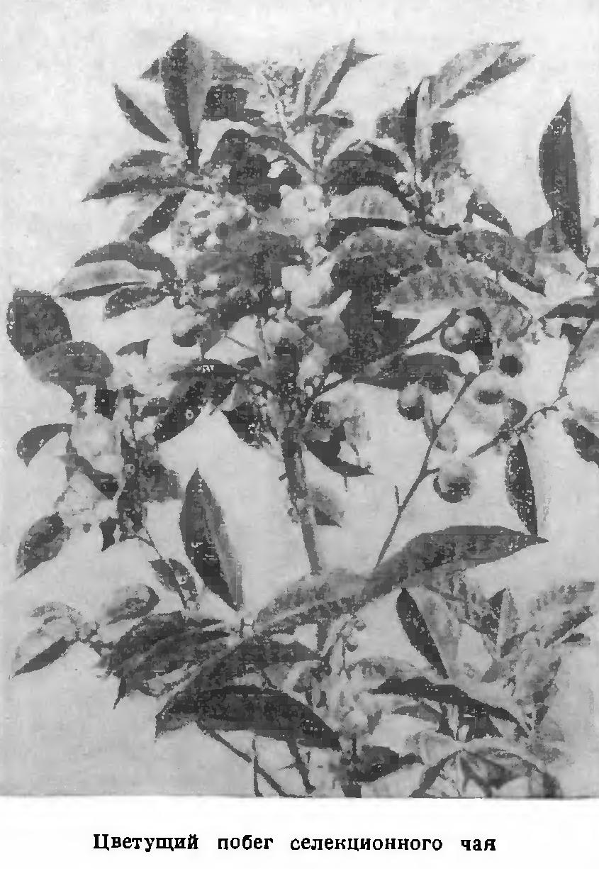 Первое упоминание о кофе в россии появились еще во времена правления князя владимира красно солнышко