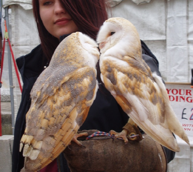 Willow & Flash, Barn Owls