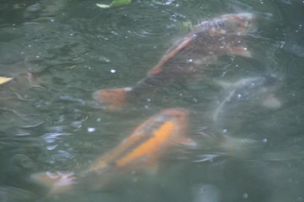Карпы под водой