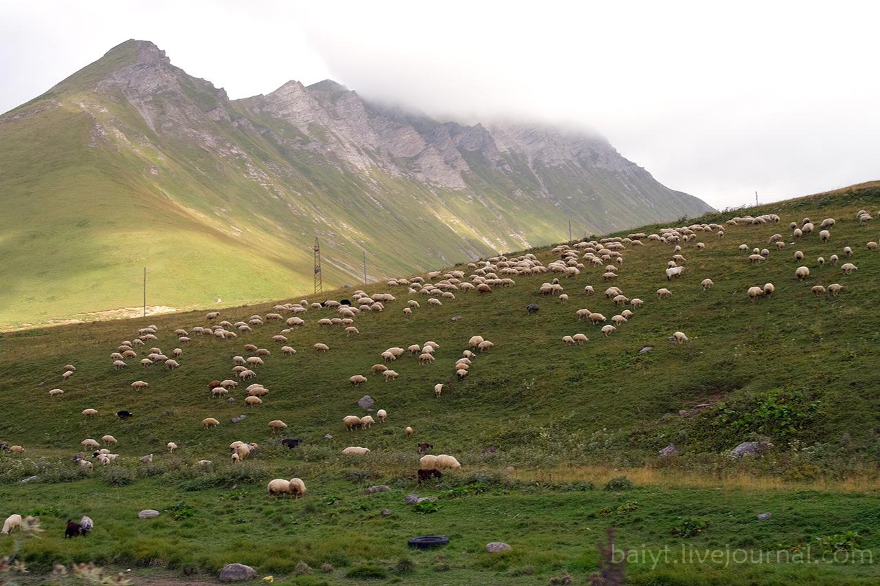 Стада овец в горах
