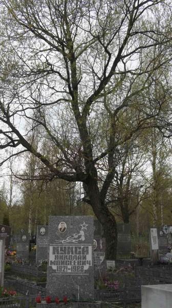 фото могилы с деревом 1024_2