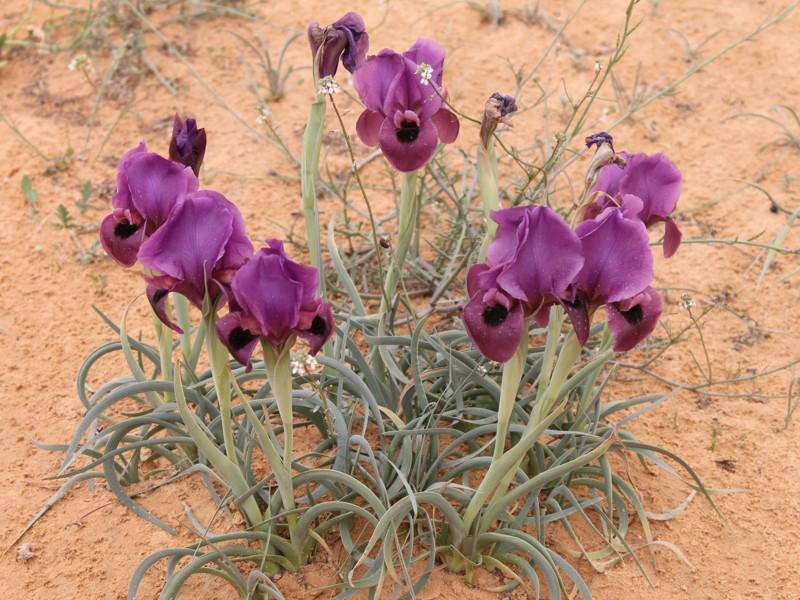 Iris_mariae4[1]