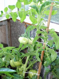 Огород на балконе, итоги 2010 огородного года - огород в гор.