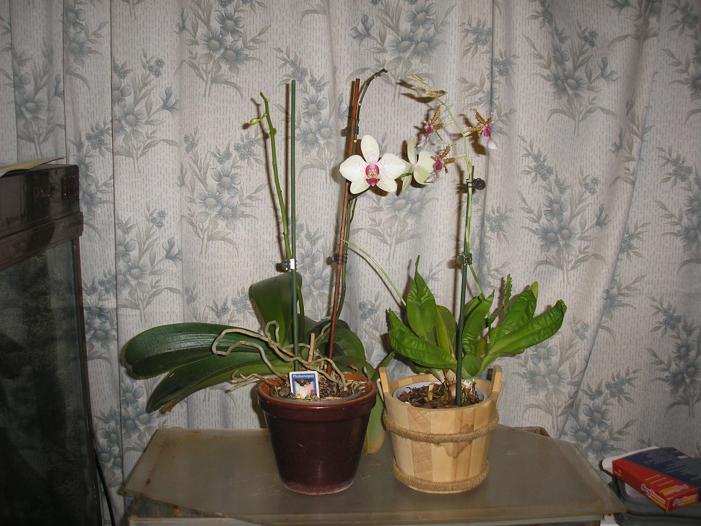 Орхидея цветок комнатная уход фото