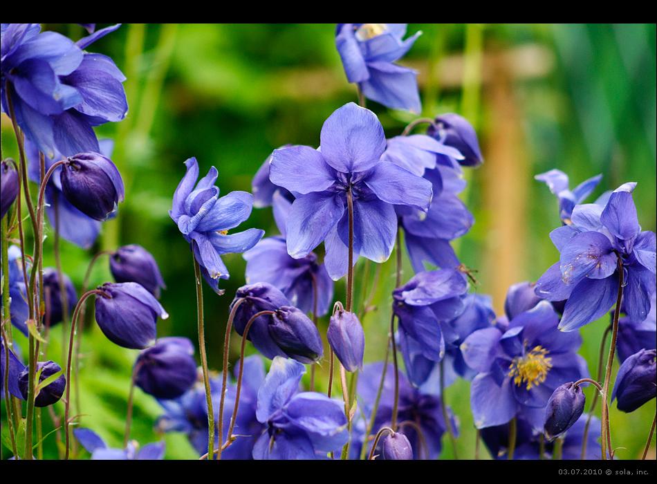 цветы (фиолетово-синие)