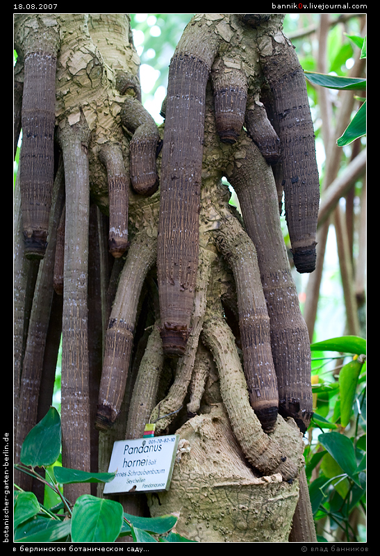 дерево-член