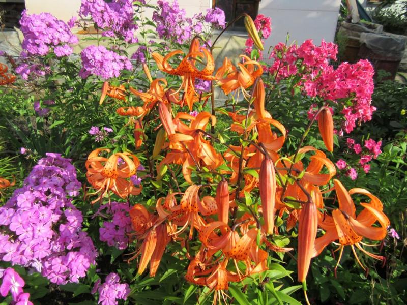 Лилии и флоксы на ярком солнце.