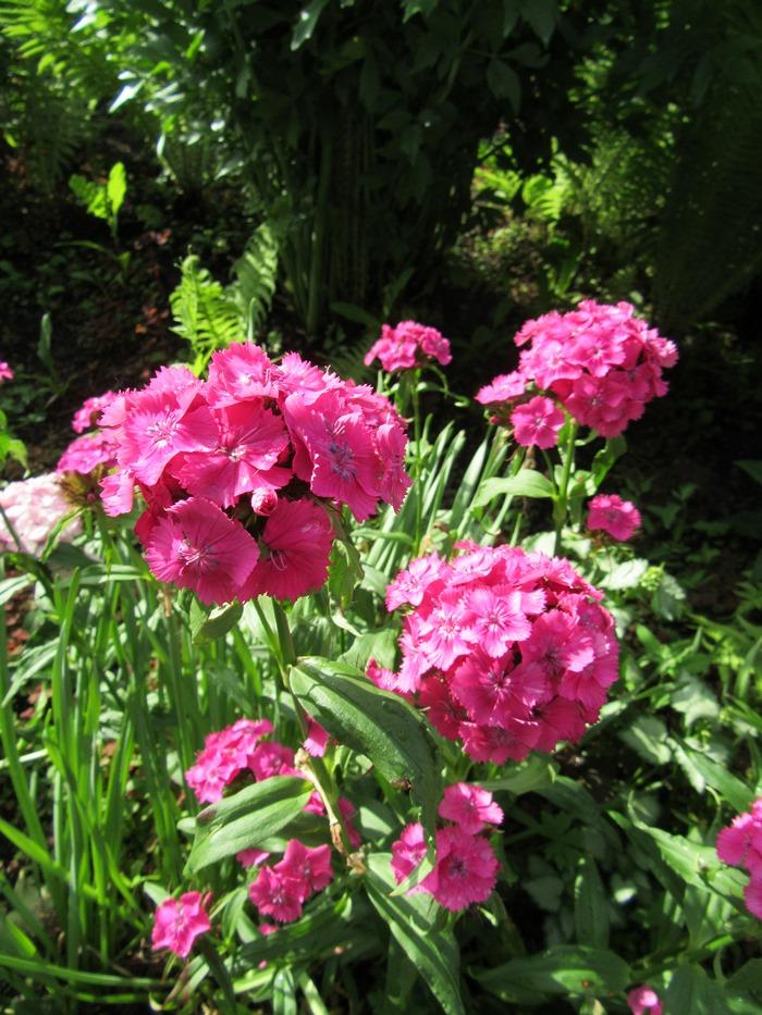 Цвет садовая гвоздика. На месяц раньше!