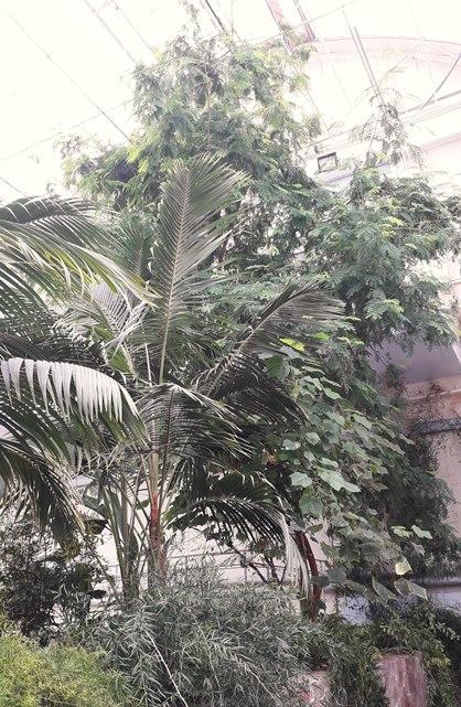Пальмы едва упираются верхушками в потолок оранжереи.