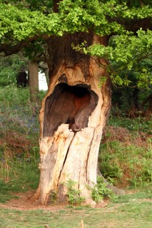 Paploo in the hollow tree face