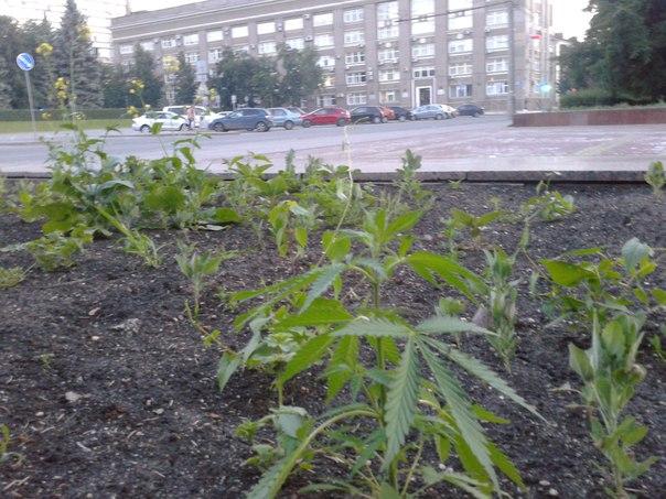 конопля в Челябинске