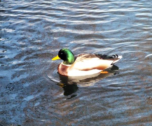Duck on the Deschutes River.  Bend, OR 12/26/12