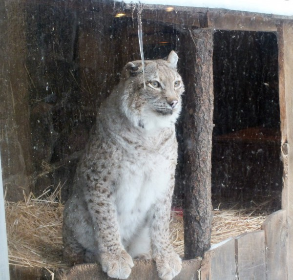 Rescue Lynx, High Desert Museum 12/30/12