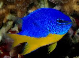 рыбка-флаг Украины