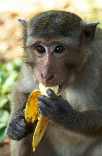 обезьяна и банан-2