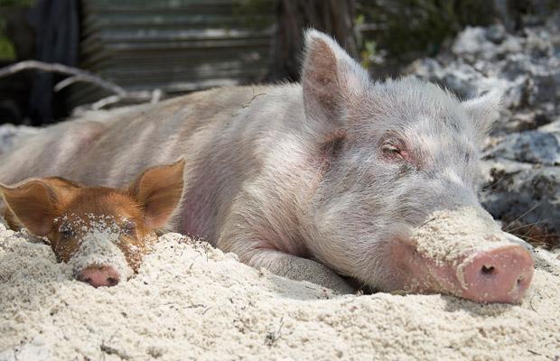 pigs-sand_1444696i