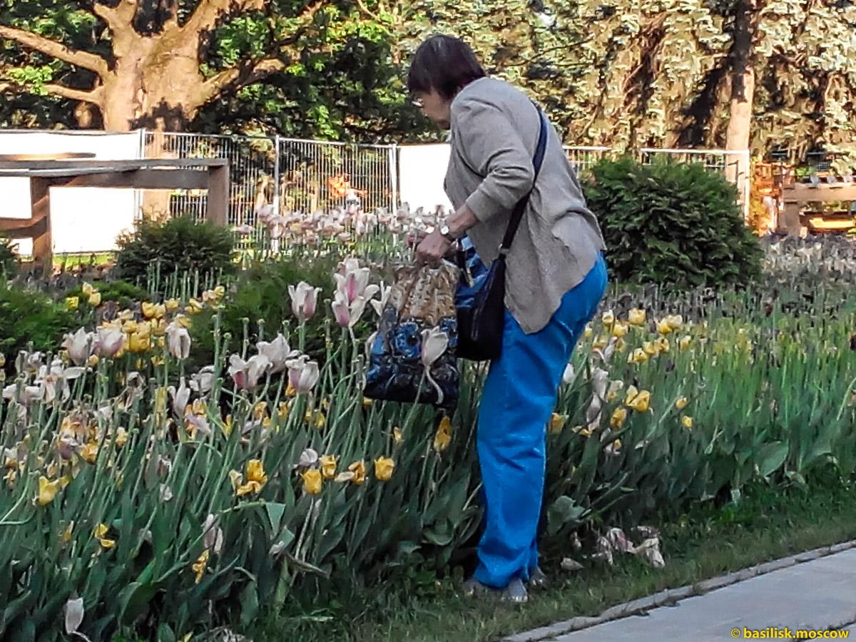 Немолодая женщина срывает и топчет тюльпаны на ВДНХ. Москва. Май 2018