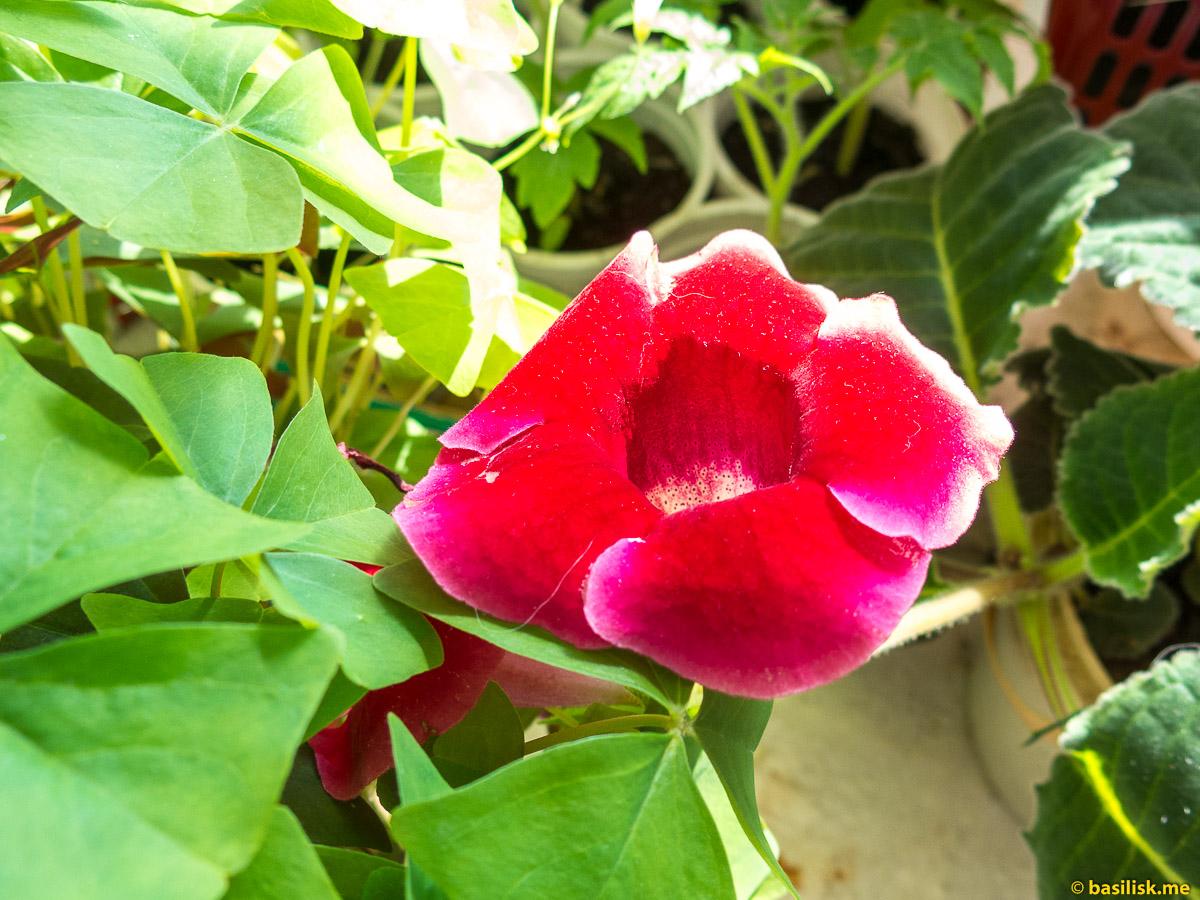 Глоксиния. Домашние цветы. Май 2018