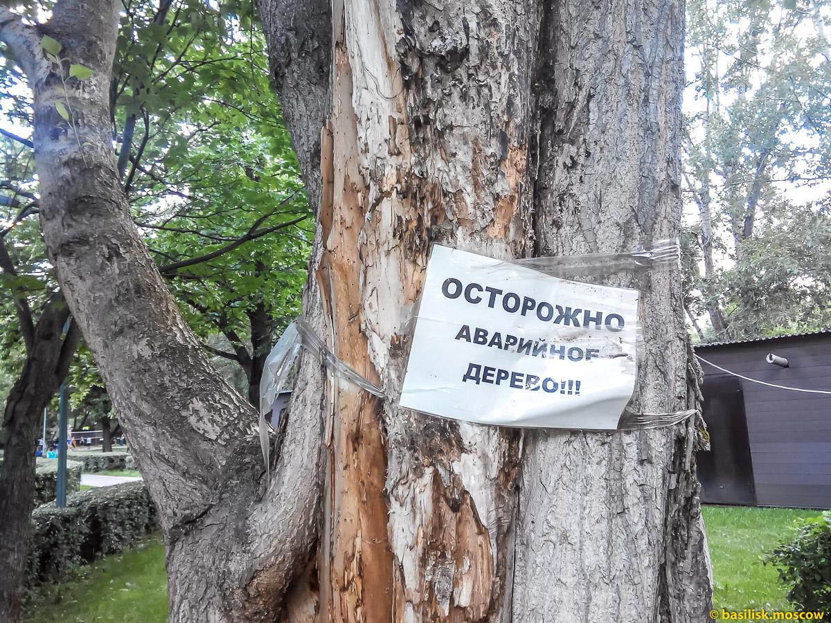 Аварийное дерево в Гончаровском парке. Москва. Июль 2017