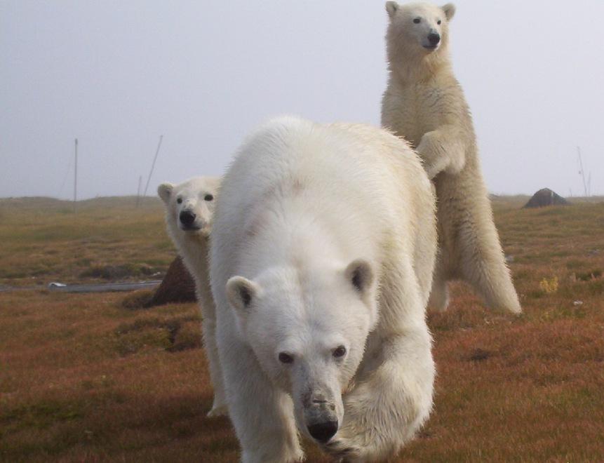 Атака медведицы