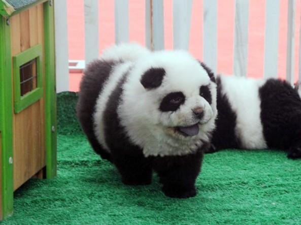 chau-chau-panda-1