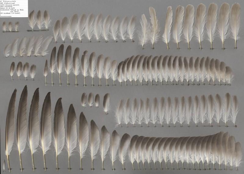 Промытые перья буревестника.jpg
