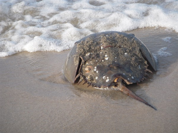 Horseshoe Crab, Primehook Beach, DE 1.071012