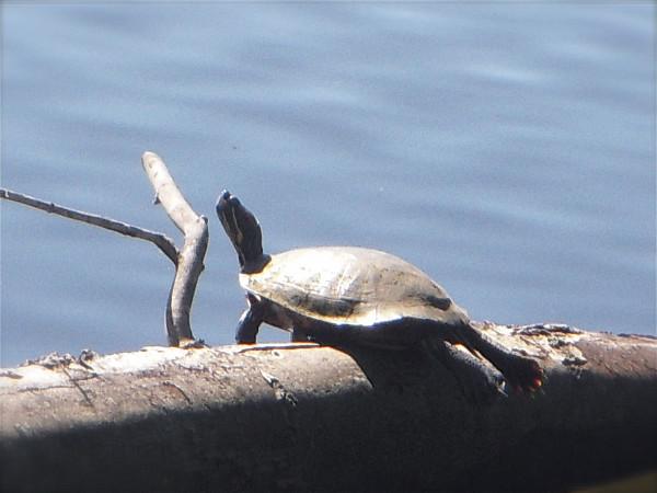 Turtle, Greenbelt Lake, 5-13