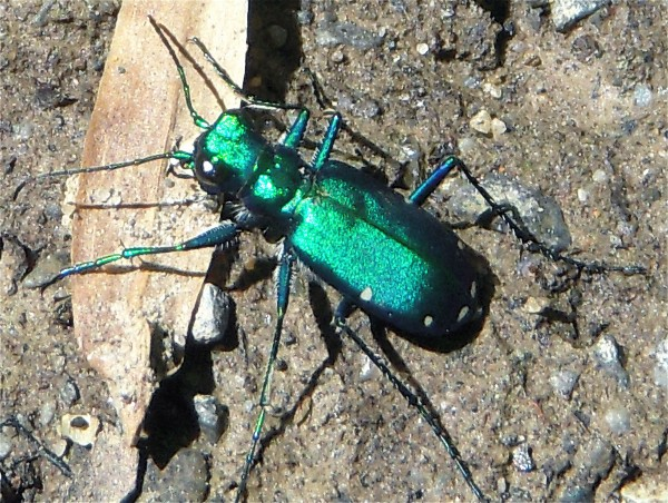 Six Spotted Tiger Beetle, Greenbelt Lake, 5-13
