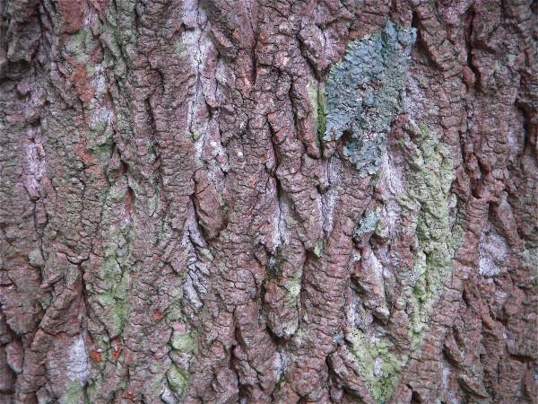 Tulip Tree Bark, Greenbelt Lake, 6-13