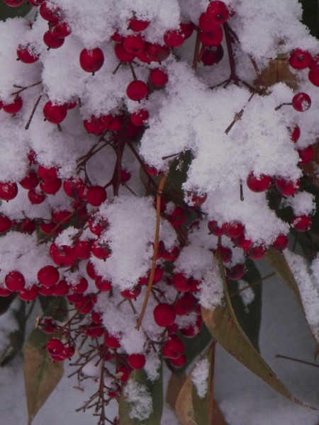 Snow berries, Roosevelt Center, Greenbelt, 1/14