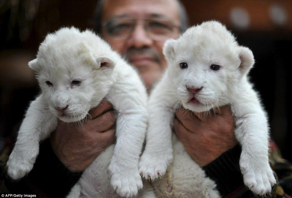 Пополнение у белых львов